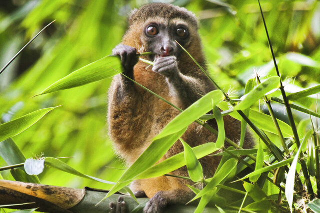 "This 2019 photo provided by Noel Rowe and Centre ValBio shows a golden bamboo lemur in Madagascar. Conservation isn't work that can simply be dropped for a while, then picked up again, ""because it depends so much on relationships with people and local communities,"