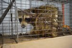 The raccoon that scaled the UBS Plaza was caught in a live trap baited with cat food overnight in St. Paul, Minn., and was picked up by Wildlife Management Services Wednesday, June 13, 2018.  Nearby Minnesota Public Radio branded the raccoon with the hashtag #mprraccoon. The woodland creature also had its own Twitter account, with one tweet saying,