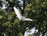 An egret flies over an area near the Grapevine Bridge across the Chicahominy River outside of Sandston, Va. Thursday, July 15, 2021. (Bob Brown/Richmond Times-Dispatch via AP)