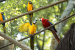A pair of macaws perch on a rope inside an enclosure at BioParque, in Rio de Janeiro, Brazil, Wednesday, May 5, 2021. Macawgender isnear impossibletodetermineby sight, andrequireseither genetic testing of feathers or blood, or laparoscopy of the gonads.(AP Photo/Bruna Prado)