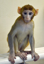 This undated photo provided by the Oregon Health and Science University in March 2019 shows a monkey named Grady, at 11 months, born from an experimental technology that aims to help young boys undergoing cancer treatment preserve their future fertility. Scientists froze testicular tissue from a monkey that had not yet reached puberty, and later thawed it to produce sperm used for Grady's conception. (OHSU via AP)