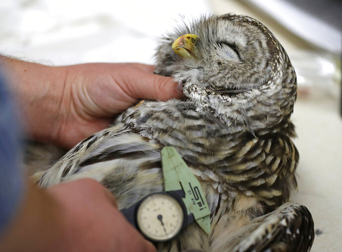In this photo taken in the early morning hours of Oct. 24, 2018, wildlife technician Jordan Hazan records data in a lab in Corvallis, Ore., from a male barred owl he shot earlier in the night. The experimental killing of barred owls raised such moral dilemmas when it first was proposed in 2012 that the Fish and Wildlife Service took the unusual step of hiring an ethicist to help work through whether it was acceptable and could be done humanely. (AP Photo/Ted S. Warren)