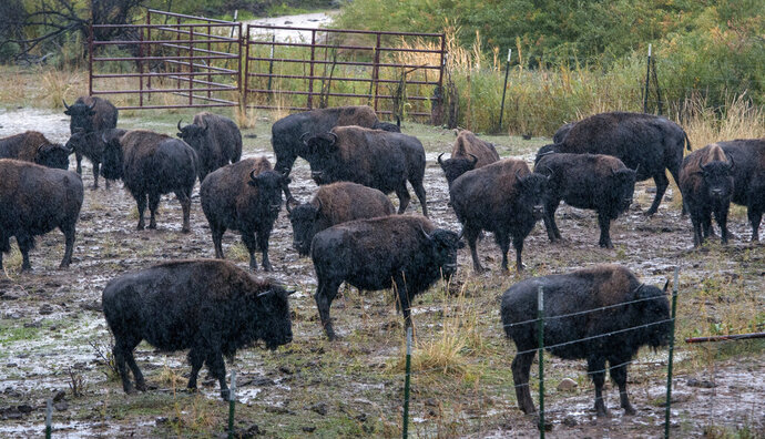 In an Oct. 4, 2019 photo, Picuris Pueblo's bison herd stands in the rain in a pasture on the pueblo. The pueblo governor said that Picuris has had to reduce its herd due to lack of water in the Rio Pueblo. (Eddie Moore/The Albuquerque Journal via AP)