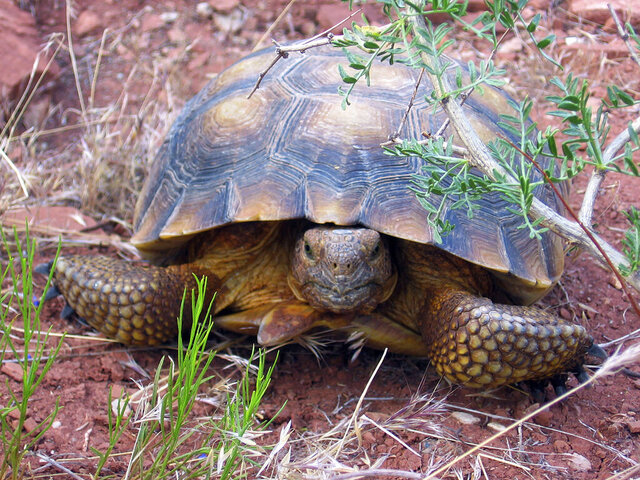 FILE - This May 13, 2006 file photo shows a desert tortoise at its new home in the Red Cliffs Desert Reserve east of Leeds, Utah. More than 16,000 public comments have been submitted for a proposal on whether to allow a highway to be built through a protected Mojave desert tortoise habitat in southern Utah. The four-lane road has drawn criticism from conservationists. The Spectrum newspaper reported the road would pass through the Red Cliffs National Conservation Area. Bureau of Land Management officials opened the public comment period in December 2019 and say they will now go through all of the comments before releasing a draft environmental impact statement. (Brain Passey/The Spectrum via AP, File)