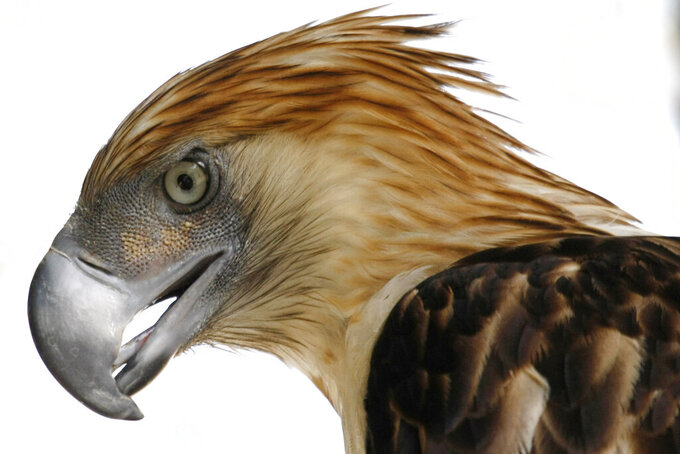 """FILE - This Sunday, March 14, 2010 file photo shows """"Girlie,"""" a 29-year-old Philippine Eagle at the Parks and Wildlife Center at Manila's Quezon City. An analysisof data from the International Union for the Conservation of Nature and BirdLife International released on Monday, Aug. 30, 2021 found that 30% of 557 raptor species worldwide are considered near threatened, vulnerable or endangered. Eighteen species are critically endangered, including thePhilippine eagle, researchers found. (AP Photo/Bullit Marquez)"""