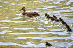 A duck and its chicks swim on the Vrbas river, near Banja Luka, Bosnia, Tuesday, July 2, 2019.  Authorities have warned of extremely hot temperatures in Serbia and the rest of the Balkans as a heat wave that has hit western Europe moves toward east of the continent. (AP Photo/Radivoje Pavicic)