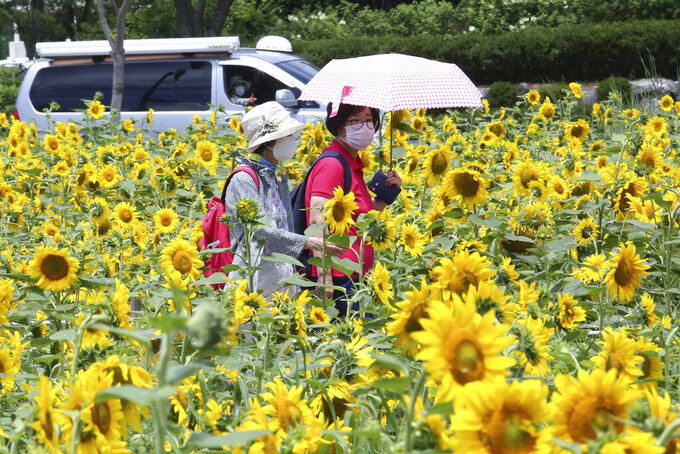 Women wearing face masks to help protect against the spread of the new coronavirus walk through a field of sunflowers at a park in Ansan, South Korea, Wednesday, July 15, 2020. (AP Photo/Ahn Young-joon)
