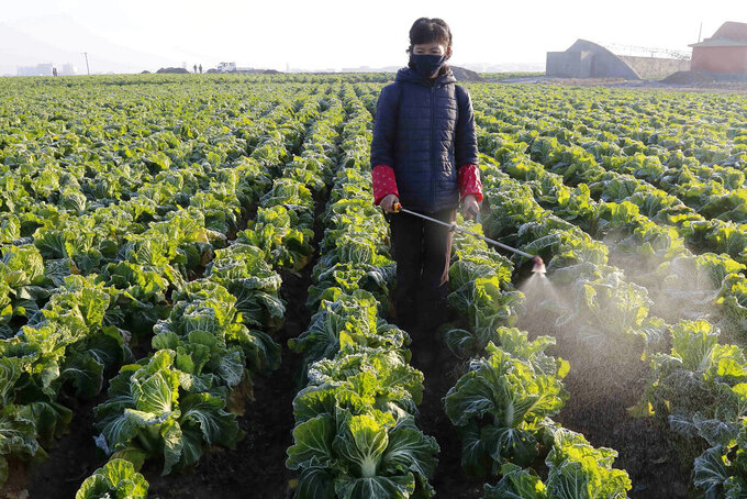 """FILE - In this Nov. 11, 2020, file photo, a farmer works on cabbage at the Songsin Vegetable Cooperative Farm in Sadong district of Pyongyang, North Korea. With a population of more than 25 million, North Korea remains by far the largest nation yet to report a single case, although there's widespread skepticism over leader Kim Jong Un's claim of a perfect record in keeping out the """"evil"""" virus. (AP Photo/Jon Chol Jin, File)"""