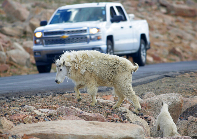 FILE - In this July 15, 2016, file photo, a mountain goat leads its kid across the Mount Evans Scenic Byway just below the summit near Idaho Springs, Colo. Grand Teton National Park officials have suspended efforts to shoot mountain goats from a helicopter after criticism from Wyoming's governor prompted Interior Secretary David Bernhardt to intervene. Bernhardt told park officials to suspend the shooting Friday, Feb. 21, 2020, hours after the effort began and Gordon called the helicopter shooting a