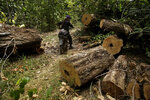 Tenetehara Indigenous man Nemai Tembe from the Ka'Azar, or Forest Owners, rides through an area of trees felled by illegal loggers, as the group patrols their lands on the Alto Rio Guama reserve in Para state, near the city of Paragominas, Brazil, Tuesday, Sept. 8, 2020. Three Tenetehara Indigenous villages are patrolling to guard against illegal logging, gold mining, ranching, and farming as increasing encroachment and lax government enforcement during COVID-19 have forced the tribe to take matters into their own hands. (AP Photo/Eraldo Peres)