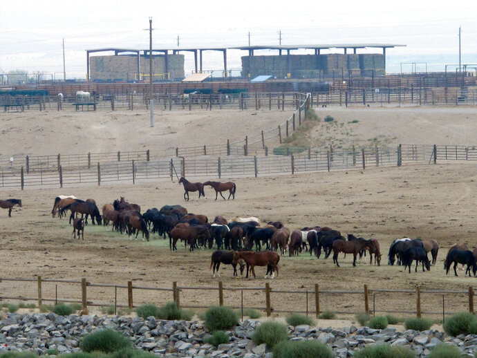 FILE - In this Sept. 4, 2013, file photo, mustangs recently captured on federal rangeland roam a corral at the U.S. Bureau of Land Management's holding facility north of Reno, in Palomino, Nev. Two House committee chairmen are trying to put the brakes on money for a new Trump administration proposal to accelerate the capture of 130,000 wild horses across the West over the next 10 years. (AP Photo/Scott Sonner, File)