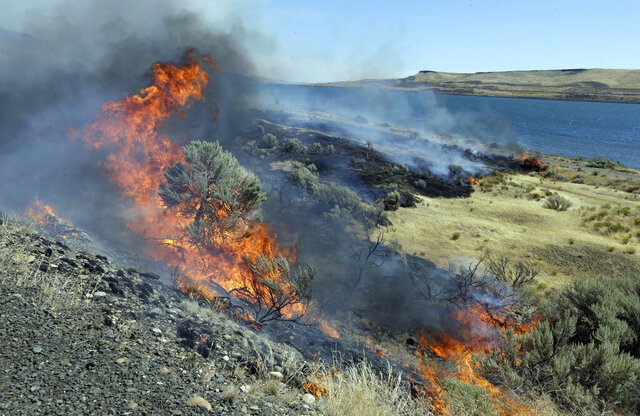 FILE - In this Aug. 5, 2015, file photo, a wildfire consumes sagebrush as firefighters let it march down to the Columbia River on the edge of Roosevelt, Wash. The Bureau of Land Management has announced plans to fund 11,000 miles (17,703 kilometers) of strategic fuel breaks in Idaho, Oregon, Washington, California, Nevada and Utah in an effort to help control wildfires. The fuel breaks are intended to prop up fire mitigation efforts and help protect firefighters, communities and natural resources, The Oregonian reported Saturday, Feb. 15, 2020. (AP Photo/Don Ryan, File)