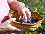 Krista Scudlark picks wild beach plums for a beach plum jelly Friday, Aug. 27, 2021, in Lewes, Del.. Scudlark owns Backyard Jams and Jellies, Inc. where she makes more than 85 flavors. (Lauren Roberts/The Daily Times via AP)