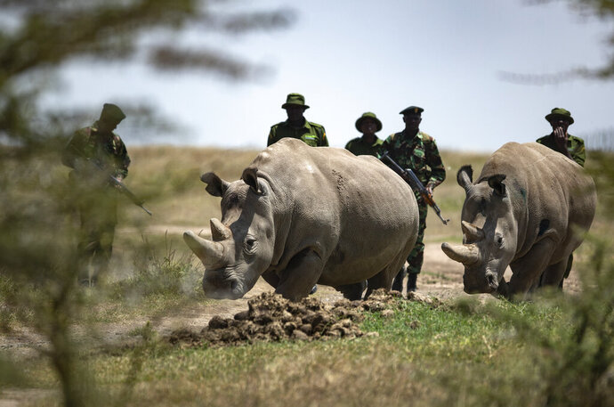 Female northern white rhinos Najin, 30, left, and Fatu, 19, right, the last two northern white rhinos on the planet, return from grazing to their enclosure at Ol Pejeta Conservancy, Kenya Friday, Aug. 23, 2019. Wildlife experts and vets say there is hope for the northern white rhino which is on the verge of extinction, after they successfully managed to draw eggs Thursday from the last two of the species, hoping they can be used to reproduce the species through a surrogate. (AP Photo/Ben Curtis)