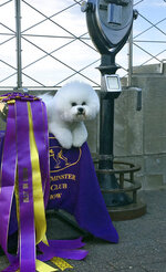 Flynn, a bichon frise, poses for photographs on top of the Empire State Building Wednesday, Feb. 14, 2018, the morning after Flynn was named best in show at the 142nd Westminster Kennel Club Dog Show, in New York. (AP Photo/Jeff McMillan)