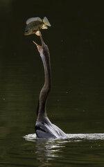 An Oriental darter bird (Anhinga melanogaster) tosses up a fish it caught in a lake outside Putrajaya, Malaysia, on Sunday, Nov. 29, 2020. (AP Photo/Vincent Thian)