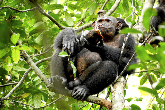 In this photo provided by the Max Planck Institute a wild chimpanzee eats a tortoise, whose hard shell was cracked against tree trunks before scooping out the meat at the Loango National Park on the Atlantic coast of Gabon, May 20, 2019. Researchers from the Max Planck Institute for Evolutionary Anthropology in Leipzig and the University of Osnabrueck said Thursday they spotted the unusual behavior dozens of times in a group of chimpanzees at Loango National Park in Gabon. (Erwan Theleste/Max Planck Institute via AP)