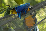 A blue-and-yellow macaw that zookeepers have named Juliet, left, grooms with a captive macaw at BioParque, in Rio de Janeiro, Brazil, Wednesday, May 5, 2021. Every morning for the last two decades, Juliet swoops onto the enclosure and through its fence, engages ingroomingbehaviorthatlooks likeconjugal canoodling. (AP Photo/Bruna Prado)