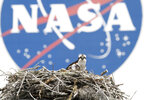 FILE - In this April 3, 2010, file photo, a female Osprey and one of her three chicks are seen against the backdrop of the NASA logo at the Kennedy Space Center in Cape Canaveral, Fla. New Zealand announced Tuesday, June 1, 2021, that it was the latest country to sign a space agreement with NASA, just as New Zealand's nascent space industry begins to take off. (AP Photo/Terry Renna, File)
