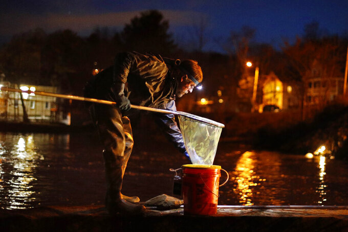 FILE-In this Thursday, April 16, 2020 file photo, John Golding of Freeport, Maine, looks inside his dip net while fishing for baby eels in Yarmouth, Maine. The state's baby eel fishermen are hopeful for a more stable year in 2021 after the pandemic disrupted the worldwide economy last year. (AP Photo/Robert F. Bukaty, File)