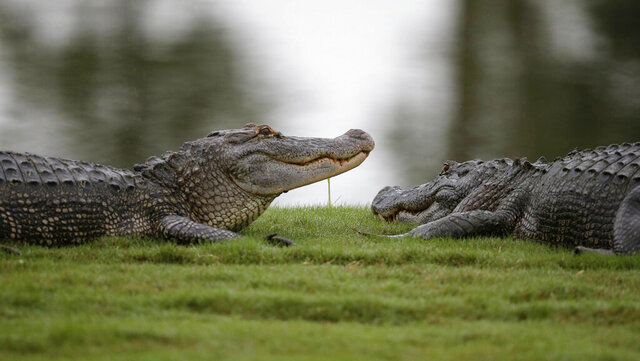 FILE - In this Monday, May 2, 2016 file photo, Two alligators lounge on the end of the 16th green during the final round of the PGA Zurich Classic golf tournament at TPC Louisiana in Avondale, La. A federal judge in California has temporarily blocked a California law banning the import and sale of alligator and crocodile products and has scheduled an April hearing on Louisiana's lawsuit against the law. Louisiana Gov. John Bel Edwards said Friday, Dec. 27, 2019 that it's a first step toward protecting the state alligator industry. (AP Photo/Gerald Herbert, File)