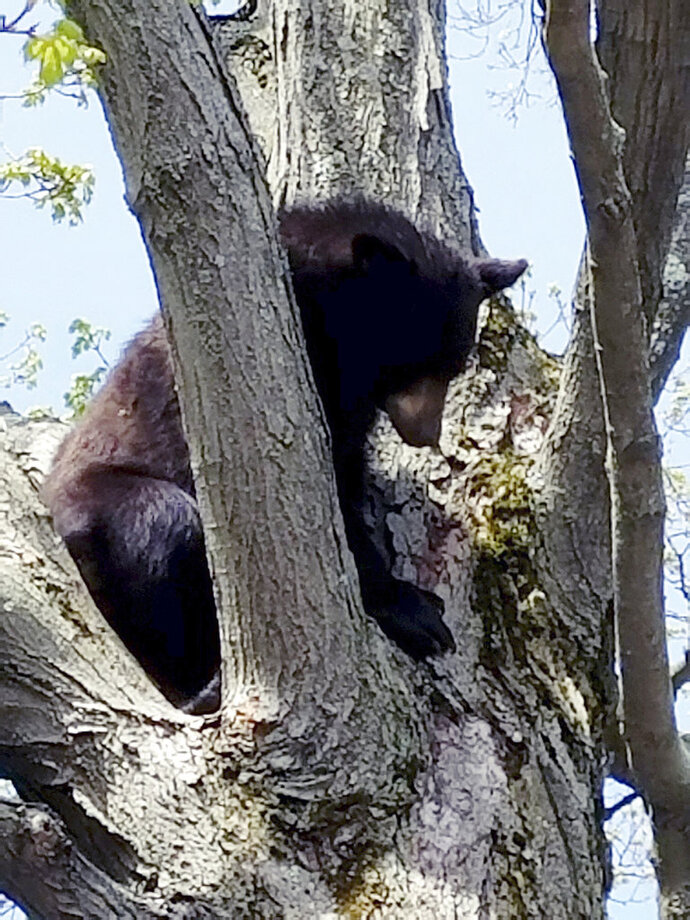 FILE- In this May 7, 2018, file photo released by the Manchester, N.H., Police Department, a young bear sits in a tree in the playground of Saint Marie's Child Care Center in Manchester. State wildlife officials tranquilized, captured and relocated the bear to the wild. New Hampshire Fish and Game Department's Bear Project Leader Andrew Timmons said they saw a record high number of abandoned bear cubs, 55 in 2018 compared to 14 last year. (Manchester Police Department via AP, File)