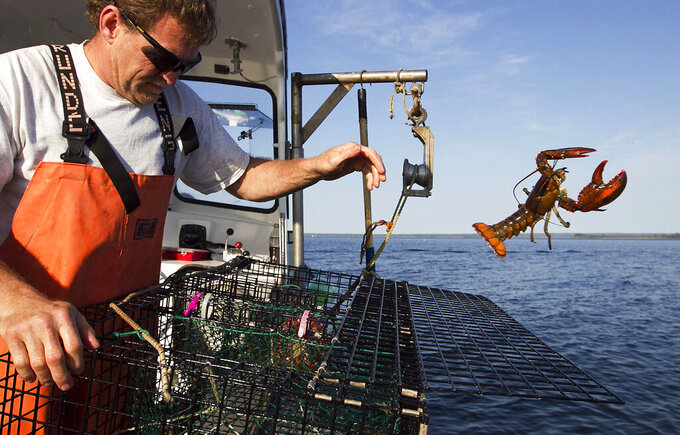 FILE - In this May 21, 2012, file photo, Scott Beede returns an undersized lobster while checking traps off Mount Desert, Maine. Lobster prices are up due to a limited supply, high demand and the reopening of the economy as the nation moves past the coronavirus pandemic.(AP Photo/Robert F. Bukaty, File)