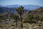 FILE - In this Jan. 10, 2019, file photo, a car drives along the road at Joshua Tree National Park in Southern California's Mojave Desert. The western Joshua tree will be considered for protection under the California Endangered Species Act because of threats from climate change and habitat destruction. The state's Fish and Game Commission on Tuesday, Sept. 22, 2020, voted 4-0 to accept a petition that provides the yucca plants temporary protected status for one year while the agency conducts a study. (AP Photo/Jae C. Hong, File)