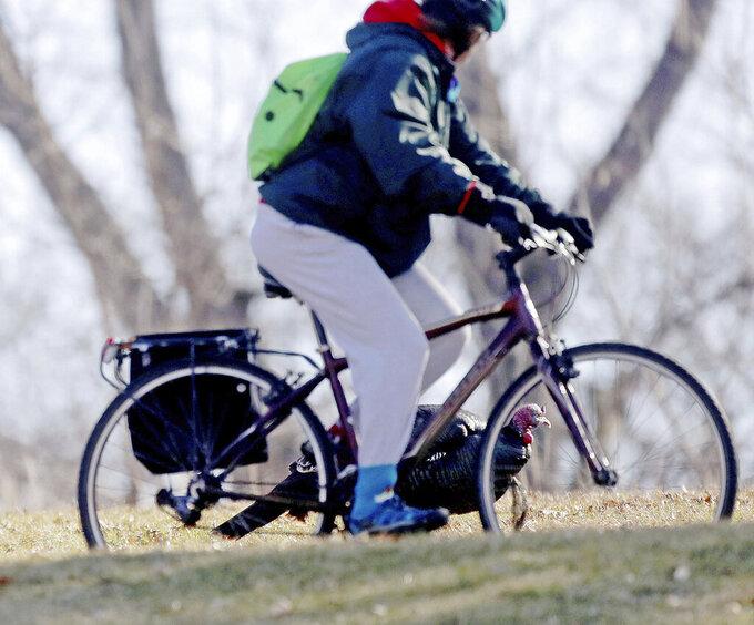A bicyclist encounters some wild turkeys on the Minnesota Veterans Home grounds Wednesday, April 1, 2020, in Minneapolis. (David Joles/Star Tribune via AP)