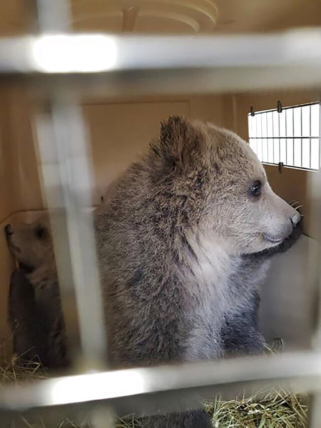 This Friday, April 10, 2020 photo provided by Montana Fish, Wildlife and Parks shows a trio of grizzly cubs, orphaned after their mother was euthanized after biting a hiker south of Glacier National Park, sit in a kennel at Montana Wild in Helena, Mont. State wildlife officials say the bears, which are being bottle fed, will become used to people and cannot be released into the wild. Officials are searching for an accredited zoo or sanctuary to take them. The cubs are about 2.5 months old and weigh between 11 and 14 pounds (5 and 6 kilograms) said Mike Madel, a grizzly bear management specialist with the department of Fish, Wildlife and Parks. (Mike Madel/Montana Fish, Wildlife and Parks via AP)