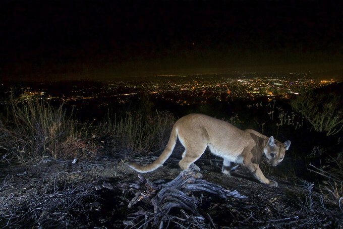 """This July 10, 2016, photo shows an uncollared adult female mountain lion photographed with a motion sensor camera in the Verdugos Mountains in in Los Angeles County, Calif. Los Angeles city lights are seen in the background. A mountain lion, not pictured, attacked a 5-year-old boy and dragged the child across his front lawn in Southern California was shot and killed by a wildlife officer, authorities said Saturday, Aug. 28, 2021. The 65-pound (30-kilogram) mountain lion attacked the boy while he was playing near his house Thursday in Calabasas, Calif., and """"dragged him about 45 yards"""" across the front lawn, said Capt. Patrick Foy, a spokesman with the California Department of Fish and Wildlife. (U.S. National Park Service via AP)"""