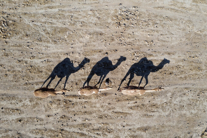 Camels walk near the West Bank village of Al Fasayil, in the Jordan Valley, Tuesday, June 30, 2020. Israeli Prime Minister Benjamin Netanyahu appears determined to carry out his pledge to begin annexing parts of the occupied West Bank, possibly as soon as Wednesday. (AP Photo/Oded Balilty)