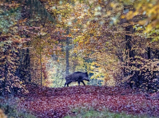 FILE - In this Nov. 9, 2019 file photo, a wild boar runs through a forest in the Taunus region near Frankfurt, Germany. Following a suspected case of African swine fever in Brandenburg, the Federal Minister of Food and Agriculture Julia Kloeckner informed about the results of the analysis after examining a sample of the carcass. The animal disease has been detected for the first time in Germany.  (AP Photo/Michael Probst)