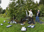 "Andy Newhouse, left, and William Powell harvest genetically modified chestnut samples at the State University of New York's College of Environmental Science & Forestry's Lafayette Road Experiment Station in Syracuse, N.Y., Monday, Sept. 30, 2019. ""We have this technology, it's a very powerful technology, and we can use that now to save a species,"" said Professor Powell, a molecular plant biologist who directs the American Chestnut Research and Restoration Project at the college. (AP Photo/Adrian Kraus)"