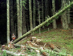 FILE - In this undated file photo, a large fir tree falls to the forest floor after it was cut by an unidentified logger in the Umpqua National Forest near Oakridge, Ore. A coalition of environmental and fishing groups have sued Oregon over allowing logging on state forest lands and allege the activity is damaging streams used by coho salmon. (AP Photo/Don Ryan, File)