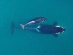 FILE - This September 2015, photo provided by NOAA Fisheries shows an aerial view of adult female Southern Resident killer whale (J16) swimming with her calf (J50). Habitat protections for the endangered population of orcas would be greatly expanded under a proposal to be advanced by NOAA. (NOAA Fisheries/Vancouver Aquarium via AP, File)