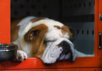 Thor the bulldog naps before competition at the 144th Westminster Kennel Club dog show, Monday, Feb. 10, 2020, in New York. Thor most recently won the Kennel Club of Philadelphia's National Dog Show in November, 2019. (AP Photo/Mark Lennihan)