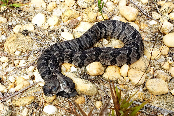 This August 2019 photo provided by Herpetological Associates, Inc. shows a newborn two-headed timber rattlesnake which was found in New Jersey's Pine Barren. Herpetological Associates of Burlington County CEO Bob Zappalorti says the snake has two brains and each head acts independently of the other.   (Herpetological Associates, Inc. via AP)