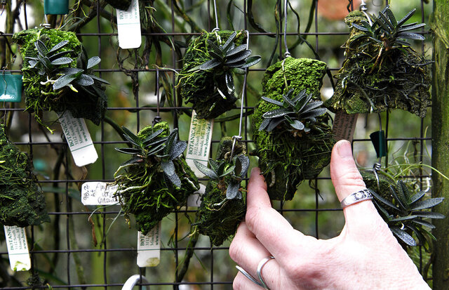 Brenda Oviatt said Angraecum urschianum, shown here growing in the Botanica Ltd. greenhouse on Jan. 14, 2020, is one of her favorite orchids. The orchid comes from Madagascar, grows to only a few inches high and has a flower as big as the plant. (Tom Bauer/The Missoulian via AP)