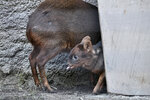 A baby pudu named Haechan, sticks out his tongue as he roams inside his enclosure at the Los Angeles Zoo on Thursday, Jan. 24, 2019. Fans of a Korean pop star have raised more than $2,000 to name the baby deer at the Los Angeles Zoo after their favorite doe-eyed singer. The zoo's new baby pudu was named Haechan after a member of K-pop group NCT and its two subgroups, NCT 127 and NCT Dream. The pudu made its media debut at the zoo Thursday, though he has previously been on public display after he was born Dec. 19. (AP Photo/Richard Vogel)
