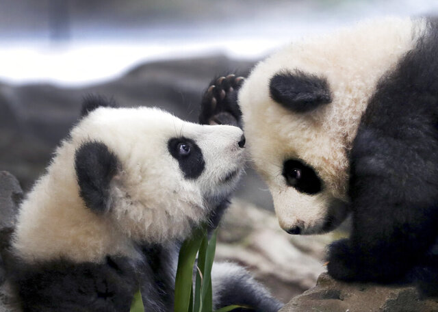 In this picture taken trough a window the young panda twins 'Meng Yuan' and 'Meng Xiang' explore their enclosure at the Berlin Zoo in Berlin, Germany, Wednesday, Jan. 29, 2020. China's permanent loan Pandas Meng Meng and Jiao Qing are the parents of the two cubs that were born on Aug. 31, 2019 at the Zoo in Berlin. (AP Photo/Michael Sohn)
