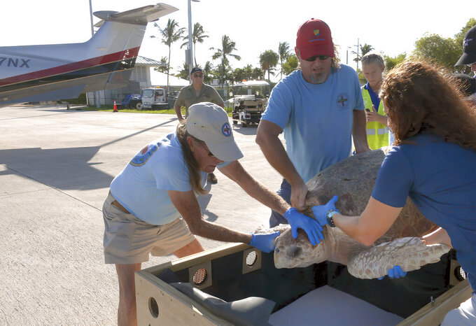 """In this photo provided by the Florida Keys News Bureau, staff from the Florida Keys-based Turtle Hospital place a large loggerhead sea turtle into a shipping crate Sunday, Sept. 26, 2021, in Marathon, Fla. Named Matthew, after the person who found the 230-pound reptile, the turtle was flown by private aircraft to a pubic care facility in South Padre Island, Texas, because it can't be released due to a syndrome that prohibits the animal from diving for food.The flight was arranged by the organization """"Turtles Fly Too,"""" a nonprofit that engages general aviation pilots who donate their aircraft, fuel and time to provide emergency transportation. (Steve Panariello/Florida Keys News Bureau via AP)"""
