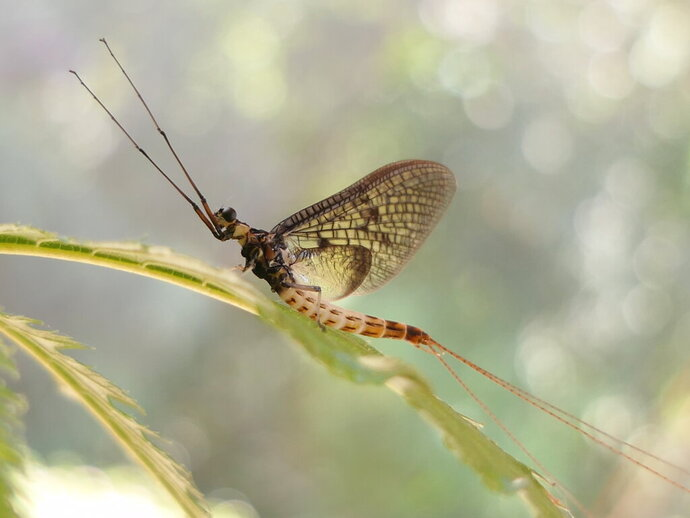 This undated photo provided by the 'Senckenberg Institute' shows a 'Danish Mayfly'. The Danish Mayfly has been selected by a German entomological society as the Insect of the Year for 2021, but won't have long to celebrate its 15 minutes of fame. The insect, whose scientific name is Ephemera danica, only has a few days to fly, mate and lay new eggs. (Wolfgang Kleinsteuber via AP)