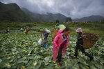 Minority women collect cabbages at a farm near their village houses built by the Chinese government for the ethnic minority members in Ganluo county, southwest China's Sichuan province on Sept. 10, 2020. China's ruling Communist Party says its initiatives have helped to lift millions of people out of poverty. Yi ethnic minority members were moved out of their mountain villages in China's southwest and into the newly built town in an anti-poverty initiative. (AP Photo/Andy Wong)