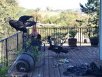 California condors rest on Cinda Mickols' porch as a flock of the rare, endangered birds took over her deck over last weekend in Tehachapi, Calif. About 15 to 20 of the giant endangered birds have recently taken a liking to the house in Tehachapi and have made quite a mess. (Cinda Mickols via AP)