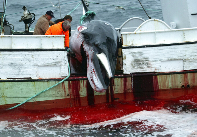 FILE - In this Saturday, Aug. 23, 2003 file photo, a whale is hauled on a fishing boat after it was killed in the Atlantic Ocean, off the west coast of Iceland. A whaling company in Iceland is preparing its fleet to bring the commercial hunting of fin whales back to the country. Whaling company Hvalur hf (Whale Inc.) said Tuesday, April 17, 2018 it is readying its two vessels for the 100-day whaling season that starts in June. Fin whale hunting stopped in Iceland in 2015, when Japanese authorities refused to import Iceland's catch because of insufficient research about health code requirements.(AP Photo/Adam Butler, File)