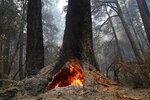 FILE - In this Aug. 24, 2020, file photo, fire burns in the hollow of an old-growth redwood tree in Big Basin Redwoods State Park, Calif. Sequoia National Park was shut down and its namesake gigantic trees were potentially threatened Tuesday, Sept. 14, 2021, as two forest fires burned in steep and dangerous terrain in California's Sierra Nevada. Giant sequoias are closely related to the redwoods that grow along the Northern California coast and have the same relationship with fire. That interaction was tested last year when a huge fire tore through almost all of Big Basin Redwoods State Park. (AP Photo/Marcio Jose Sanchez, File)