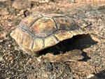 The burned shell of a juvenile tortoise is shown in the aftermath of a wildfire that scorched the Red Cliffs Desert Reserve, Thursday, Aug. 20, 2020, in Utah. Biologists in southern Utah are surveying the damage left by a wildfire that scorched large swaths of land set aside for rare tortoise habitat in southern Utah. (Joan Meiners/The Spectrum via AP)