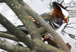 A Mandarin duck appears in Central Park in New York, Wednesday, Dec. 5, 2018. In the weeks since it appeared in Central Park, the duck has become a celebrity. (AP Photo/Seth Wenig)