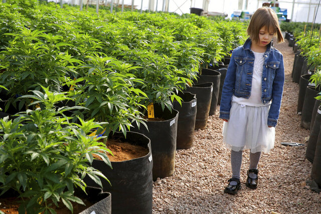 FILE - In this Feb. 7, 2014 photo, 7-year-old Charlotte Figi, whose parent describe her as once being severely and untreatably ill, walks around inside a greenhouse for a special strain of medical marijuana known as Charlotte's Web, which was named after Charlotte early in her treatment, at a grow location in a remote spot in the mountains west of Colorado Springs, Colo. Figi, the Colorado girl with a rare form of epilepsy whose recovery inspired the name of a medical marijuana oil that drew families to the state has died. The non-profit organization co-founded by her mother says Charlotte, now 13, Figi died Tuesday, April 7, 2020. It didn't say how she died. A post on her mother's Facebook page said she was recently hospitalized and a virus had infected her whole family. (AP Photo/Brennan Linsley, File)